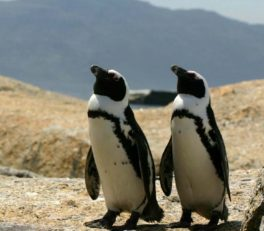 boulderbaypenguins