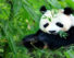 chengdu-panda-tour