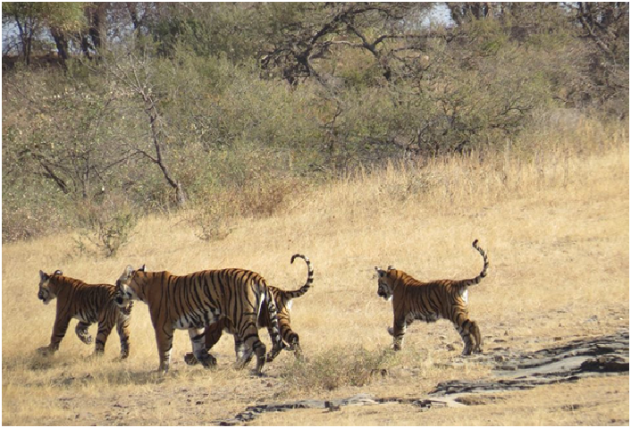 tiger-safari-and-ourexpectation