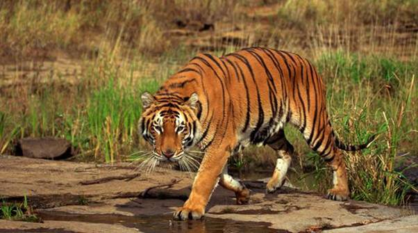What to Expect on a Tiger Safari in India - A Travel Guide